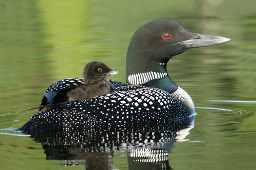 loon-with-baby_right sm